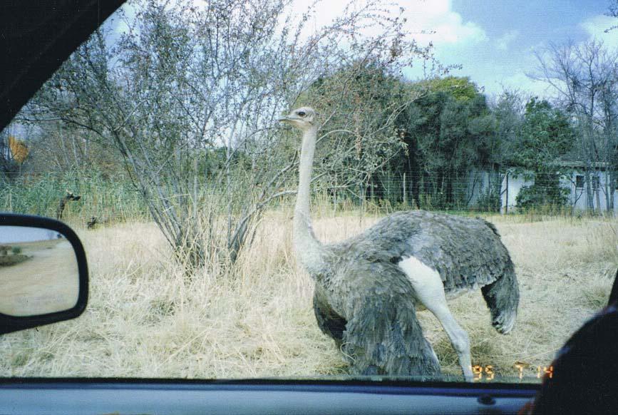 SouthAfricaScan_ostrich
