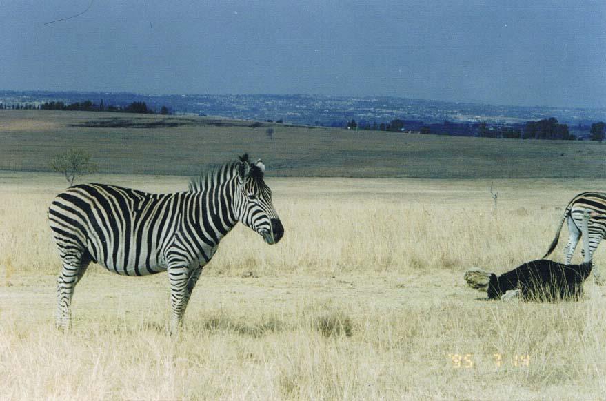 SouthAfricaScan_zebra